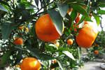 桜島の農業体験